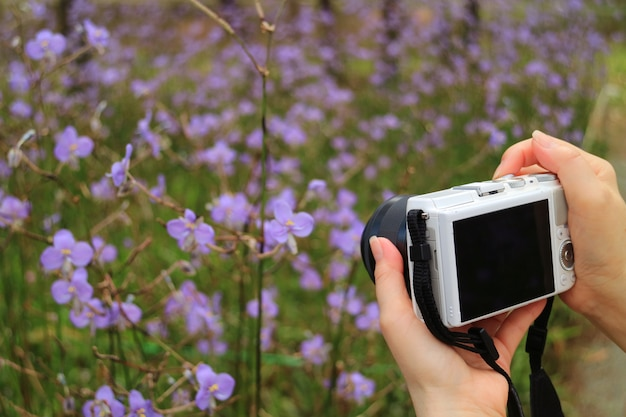 Feminino mão segurando a câmera para tirar foto de flores roxas murdannia florescendo no campo