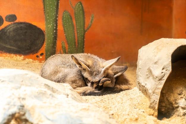 Fennec fox no zoológico