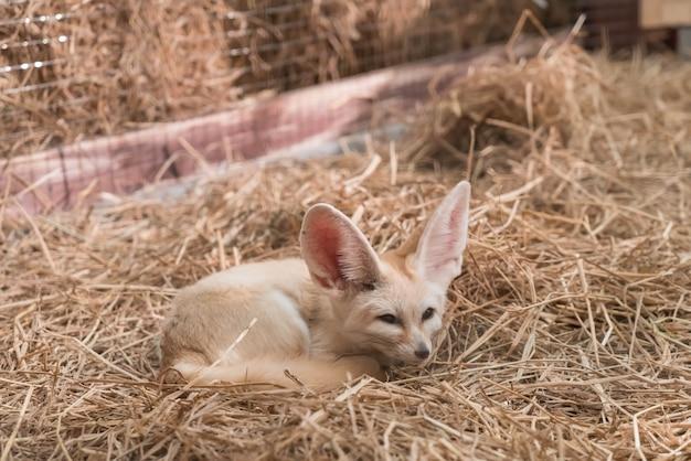 Fennec fox ou desert fox