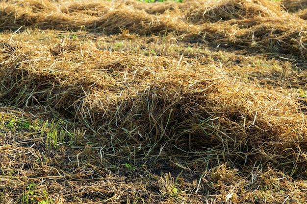 Feno seco após a feno no campo após a colheita
