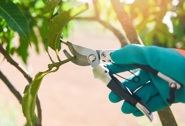 Ferramenta de jardinagem e obras conceito de poda de árvores. mão segurando tesouras de poda cortando galho de árvore de manga no jardim