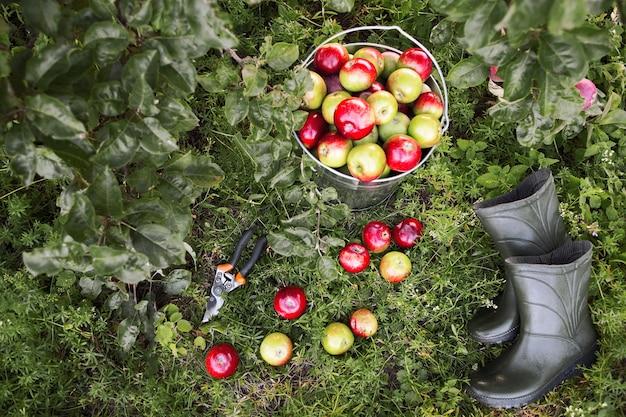 Ferramentas de jardineiro e vista superior de maçãs maduras.