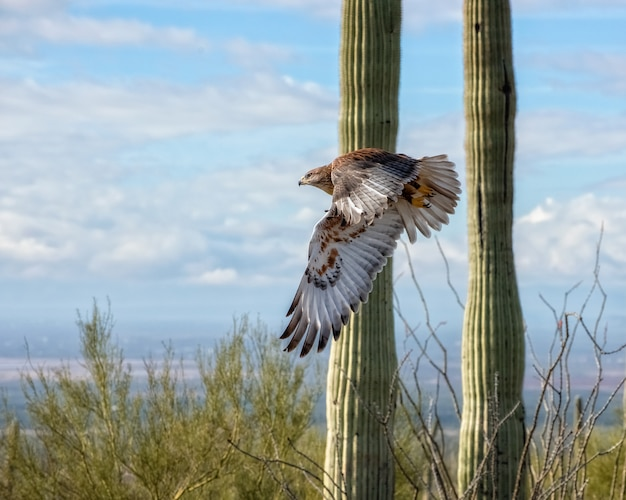 Ferruginous hawk em voo através do deserto do arizona
