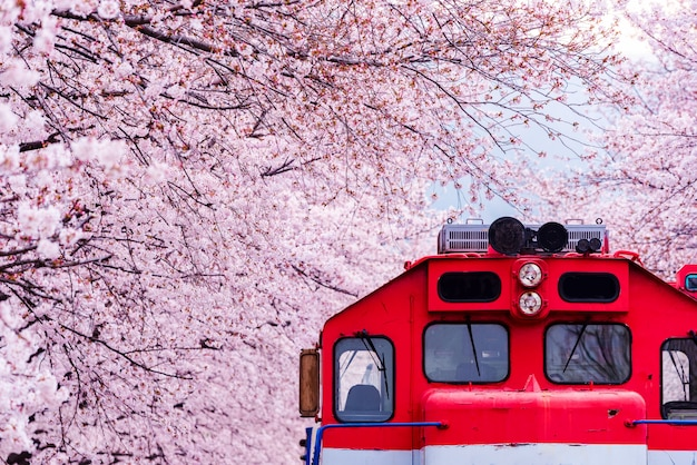Festival de flor de cerejeira na estação ferroviária de gyeonghwa