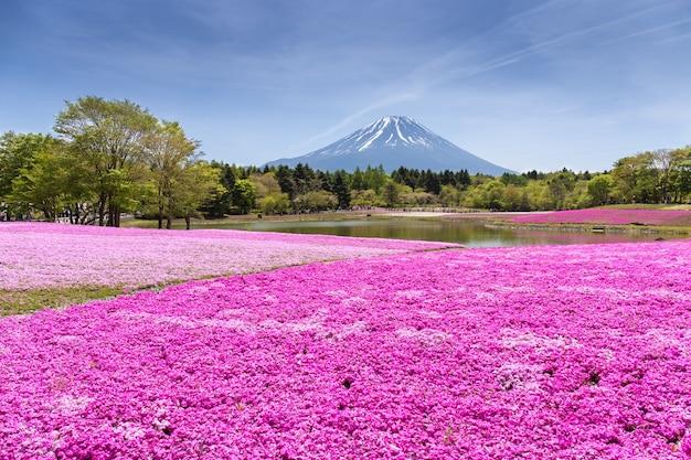Festival de shibazakura com o campo de musgo rosa da flor de cereja de sakura com montanha fu