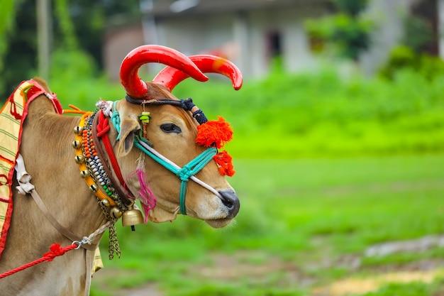 Festival indiano da pola, pola é um festival que respeita touros e bois