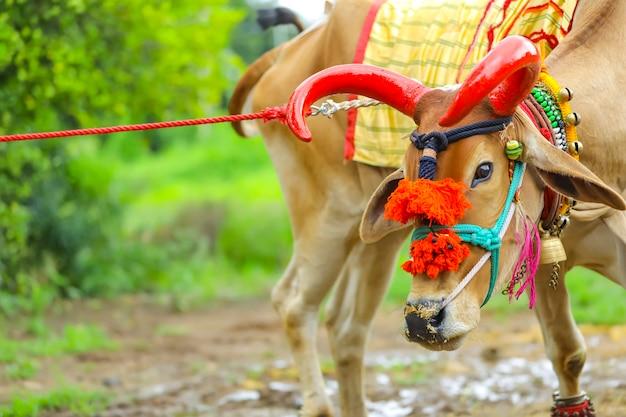 Festival indiano da pola respeitando touros e bois celebrado por fazendeiros na índia