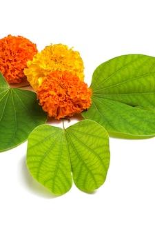 Festival indiano dussehra, mostrando flores douradas de folha (piliostigma racemosum) e calêndula em fundo branco. piliostigma racemosum. cartão de felicitações
