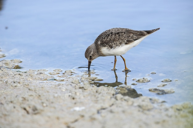 Fforaging temminck; s stint calidris temminckii
