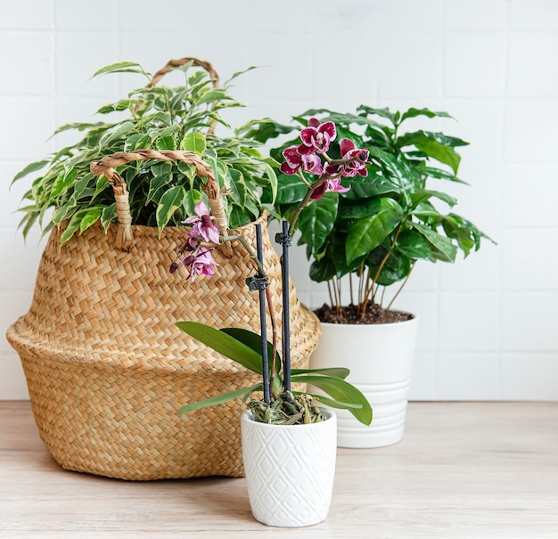 Ficus benjamin em uma cesta de palha, flor de orquídea, plantas da casa sobre a mesa