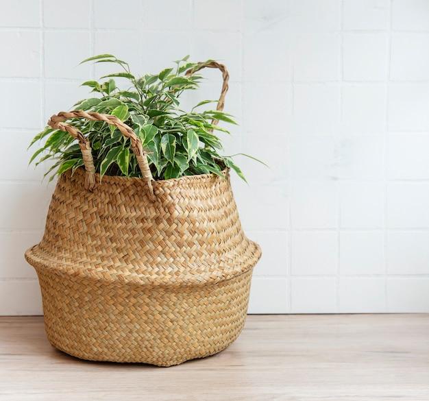 Ficus benjamin em uma cesta de palha sobre a mesa