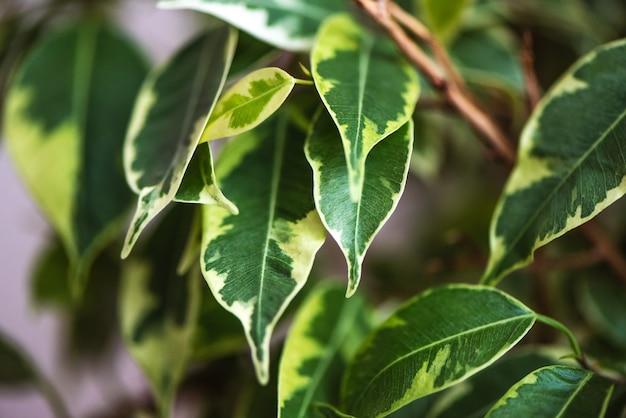 Ficus benjamin na panela em pé na janela selar o conceito de selva urbana purificador de ar natural retrato de planta de casa