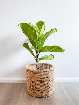 Ficus lyrata árvore em uma panela fica em um piso de madeira