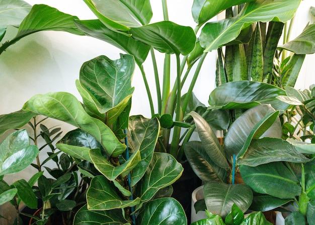 Ficus lyrata em vaso coleção de plantas de fícus bela folha de fiddleleaf planta de figueira com grandes folhas verdes ...