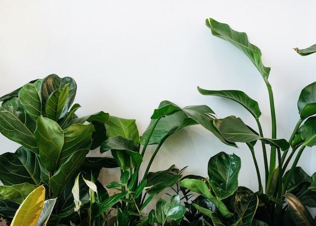 Ficus lyrata em vaso coleção de plantas de figo bela folha de fiddleleaf planta de figueira com grandes folhas verdes ...