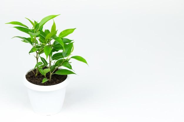 Ficus plantado em um vaso branco sobre fundo branco