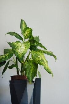 Ficus plantar seringueira em uma parede cinza de fundo claro no interior da casa close-up tiro vertical