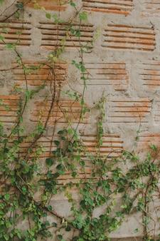 Ficus pumila na parede de tijolos antigos popularmente plantada ao lado da parede