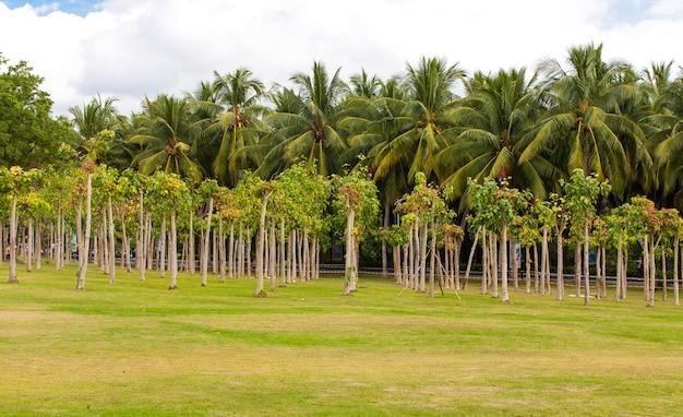 Ficus religiosa ou madeiras de figo sagrado em ciya de sanya