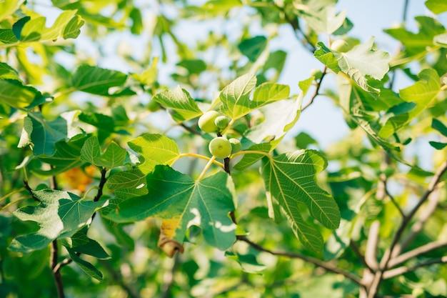 Figos maduros figueiras verdes frutíferas