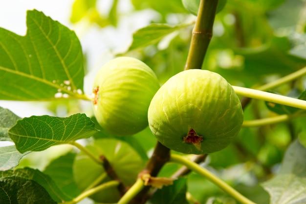 Figos verdes na árvore com folhas verdes