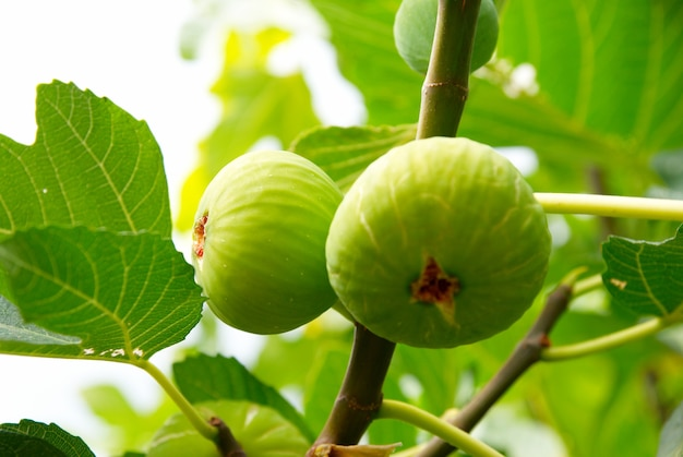 Figos verdes na árvore.