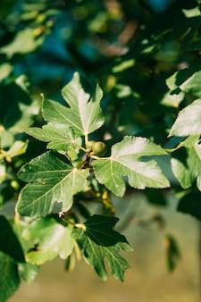 Figueiras pequenos frutos amadurecendo figos na árvore