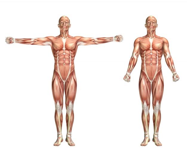 Figura masculina masculina 3d que mostra o scaption do ombro