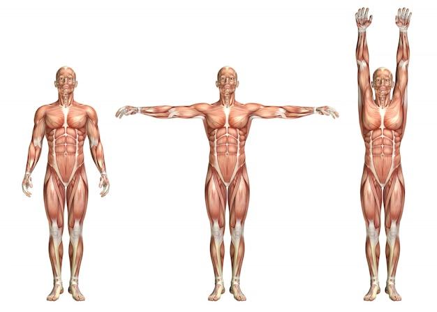 Figura médica 3d mostrando abdução do ombro e adução