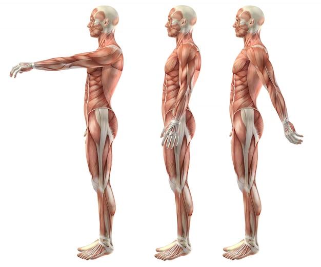 Figura médica 3d mostrando flexão do ombro, extensão e hiperextensão