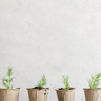 Fila de endro crescido nos vasos de turfa contra o muro de concreto