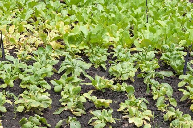 Fila de salada de alface na horta