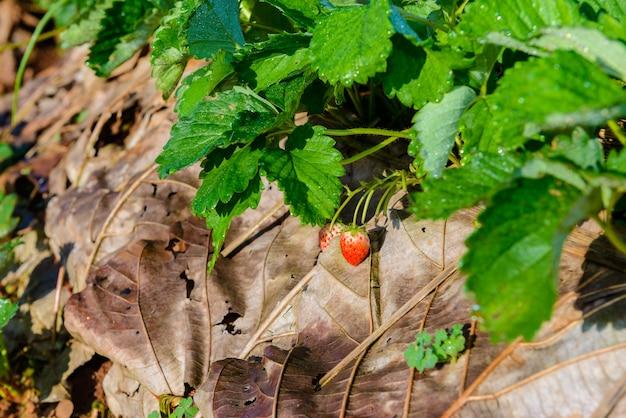 Filas de morangos em uma fazenda de morango