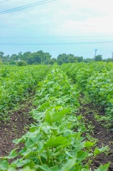 Fileira do campo crescente do algodão na índia.