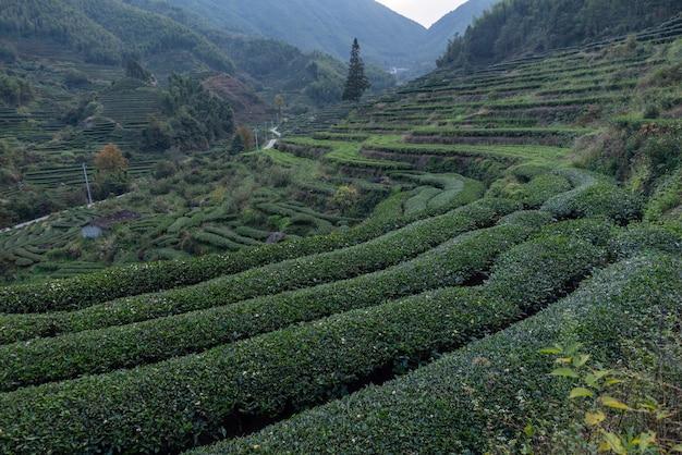 Fileiras de árvores de chá regulares no jardim de chá