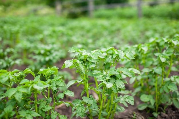 Fileiras de batatas na preparação da horta doméstica para a colheita agricultura cultivo de batata