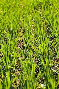 Fileiras de brotos de trigo verde recém-cultivado. pequena profundidade de nitidez