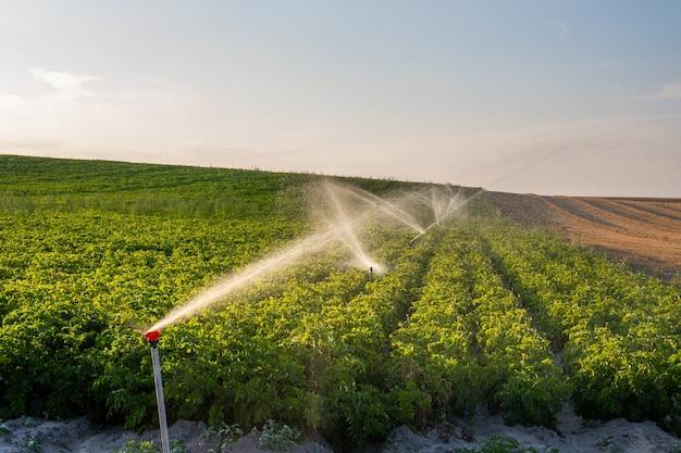 Fileiras de erva-doce (foeniculum vulgare) sendo irrigadas com aspersores agrícolas em uma fazenda da costa central.