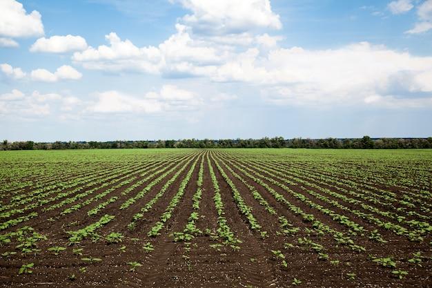 Fileiras de jovem campo de girassol em dia ensolarado de verão