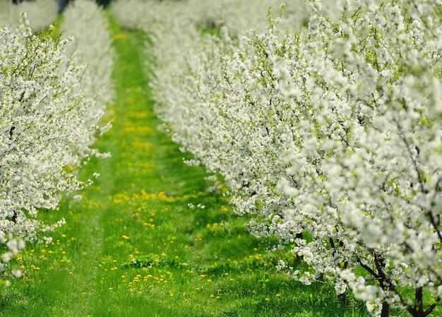 Fileiras de lindas cerejeiras em flor em um gramado verde