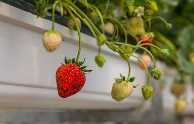 Fileiras de morangos verdes e vermelhos maduros e verdes em uma estufa contra um fundo branco