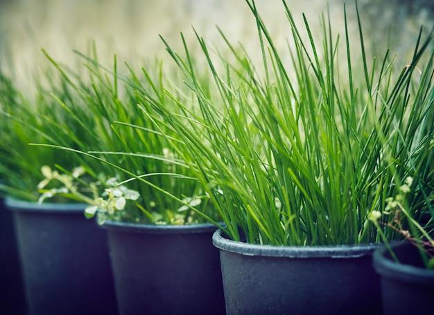 Fileiras de mudas de grama ao ar livre
