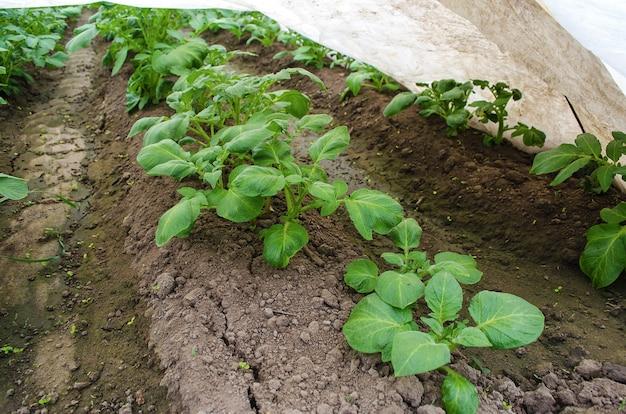 Fileiras de mudas plantação de batata agropecuária agroindústria agroindustrial