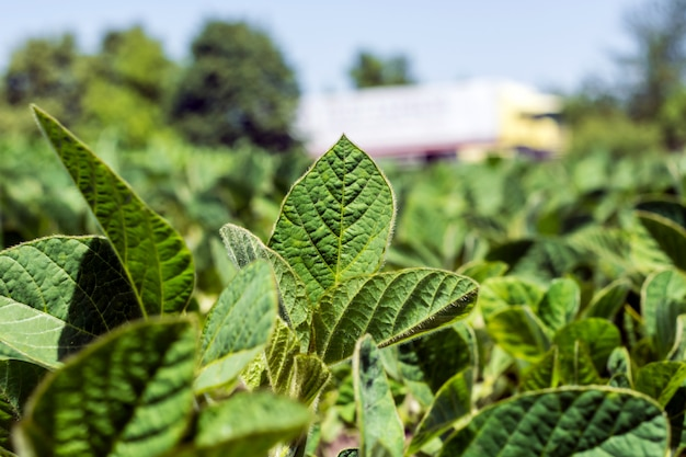 Fileiras de soja jovem e verde, doenças livres de ervas daninhas e insetos