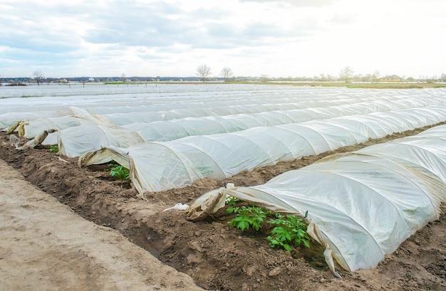 Fileiras de túneis de estufa em uma plantação de batata cobertas por uma película de plástico protegendo da geada