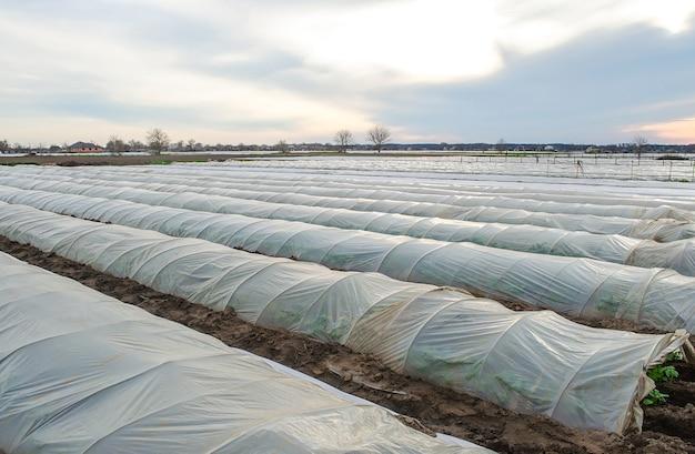 Fileiras de túneis de uma plantação de batata cobertas por uma membrana de filme plástico protegendo da geada