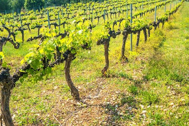Fileiras de uvas em um vinhedo europeu ao pôr do sol