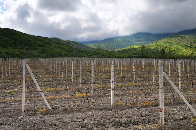 Fileiras de uvas na baixa temporada, vinhedos na crimeia entre colinas, céu nublado e grama verde