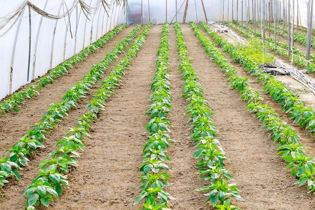 Fileiras de vegetais de pimentão crescem na estufa. plantas de pimenta em uma estufa.