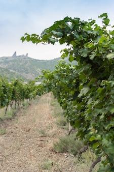 Fileiras verdes de um vinhedo em um verão quente